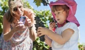 Enjoy Uruguay's Vendimia (grape-harvesting season)
