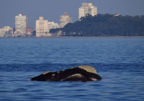 ¿Por qué las ballenas eligen  Uruguay?